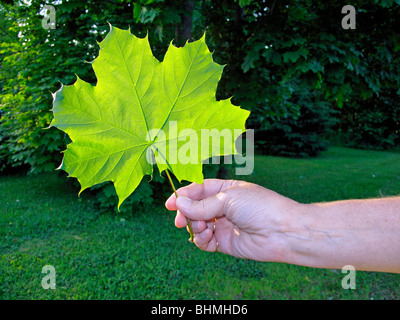 a woman's hand holding a large green sugar maple leaf with trees in the background - Stock Photo