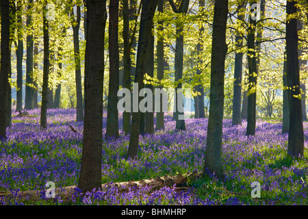 Sunlight streaming through the trees, the canopy defusing the light reaching the carpet of bluebells on the woodland - Stock Photo