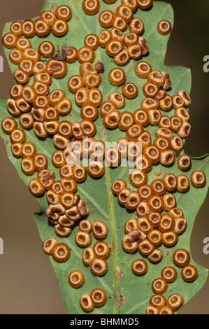 Silk Button Spangle Gall (Neuroterus numismalis), on Common Oak - Stock Photo