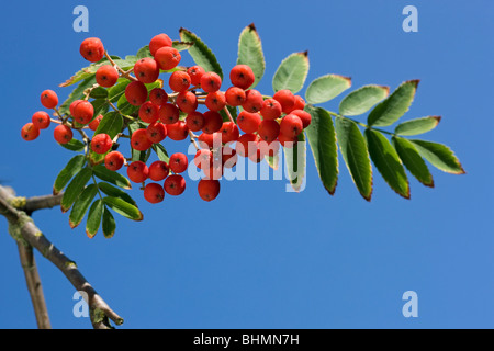 European Rowan (Sorbus aucuparia) showing leaves and red berries - Stock Photo