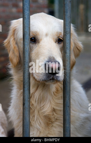 Golden Retriever (Canis lupus familiaris) behind bars in cage - Stock Photo