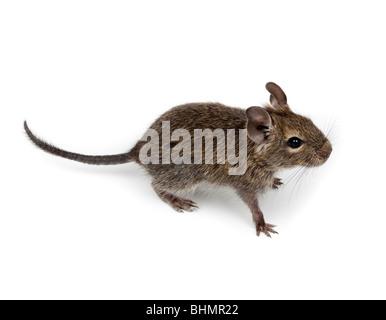 Common Degu, or Brush-Tailed Rat (Octodon degus) in studio against a white background. - Stock Photo