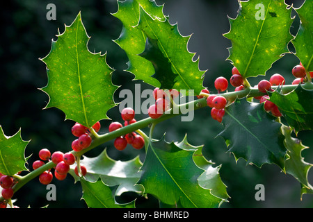 European Holly (Ilex aquifolium) red berries and leaves, Belgium - Stock Photo