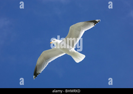 Herring gull (Larus argentatus) in flight against blue sky - Stock Photo