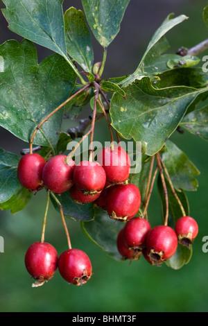Common Hawthorn (Crataegus monogyna) showing leaves and red berries, Belgium - Stock Photo