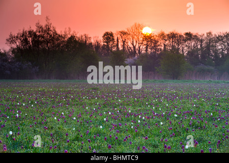 Sunrise over a meadow of Snake's Head fritillary (Fritillaria meleagris) wildflowers, North Meadow, Cricklade, Wiltshire. - Stock Photo