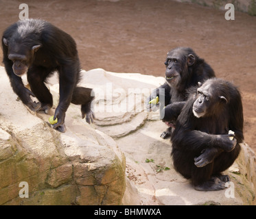 THREE MONKEY CHIMPS EATING A PIECE OF APPLE fruit WATCHING ANOTHER CLIMB ONTO A ROCK - Stock Photo