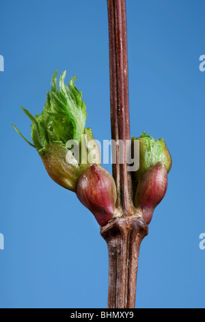 Common lime (Tilia vulgaris) bud and emerging leaf, Belgium - Stock Photo