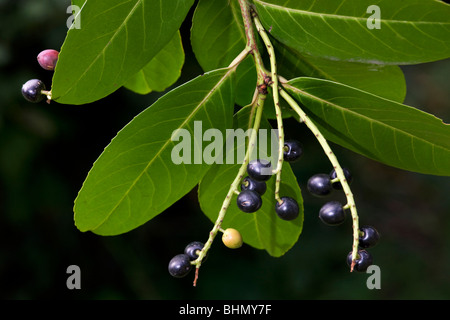 Cherry laurel / English laurel (Prunus laurocerasus) showing leaves and black berries, Belgium - Stock Photo