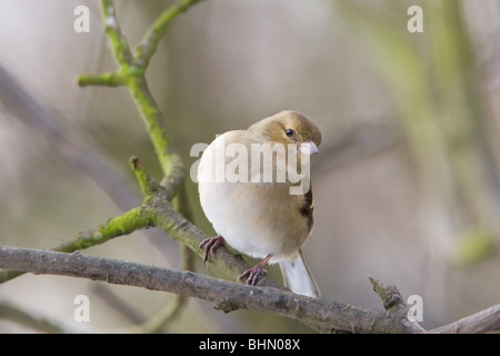 Chaffinch Fringilla coelebs adult female perched in a Willow tree - Stock Photo