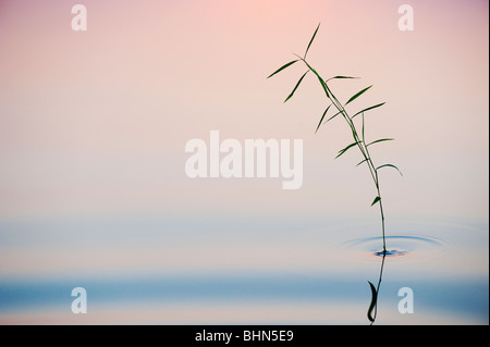 Bamboo grass reflecting in a still pool at dawn in india - Stock Photo