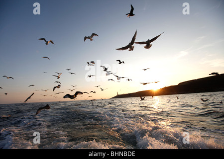 Seagulls following a fishing boat outside of Mousehole harbour at sunset - Stock Photo