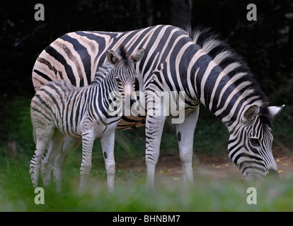 Burchell's zebra mare grazing green grass while foal looks on. Queen Elizabeth game reserve, headquarters of KZN - Stock Photo