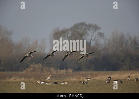 Greylag Goose, Anser anser flying in to feed with other geese in a field - Stock Photo