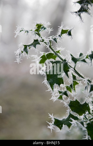 Wintry scene of holly leaves covered in hoar frost - Stock Photo