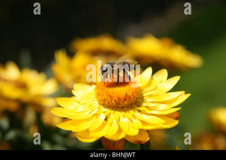 Close-up of bee sitting on yellow flower - Stock Photo