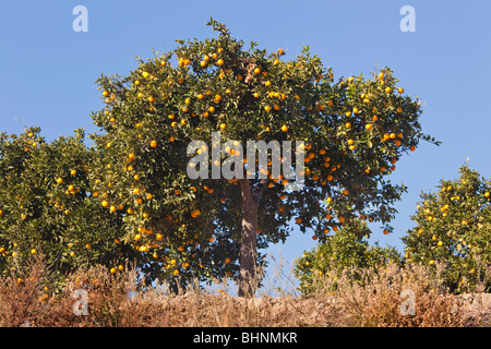 Orange trees southern Spain - Stock Photo