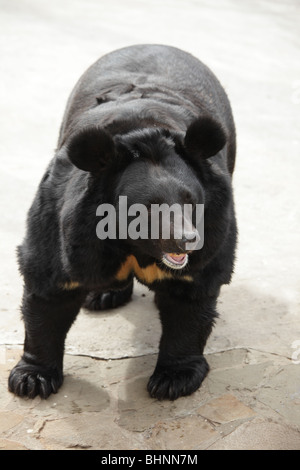 Asian Black Bear in Moscow Zoo, Russia - Stock Photo