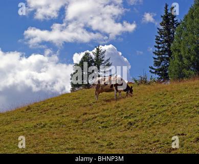 a cow eating at Piz La Ila - La Villa (BZ) - Trentino Alto Adige - Italy - Stock Photo