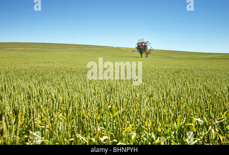 tree in fields of wheat in the countryside at burra south australia - Stock Photo