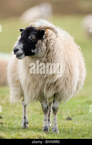 Scottish Black-faced Sheep. Ovis aries. Islay, Scotland. - Stock Photo