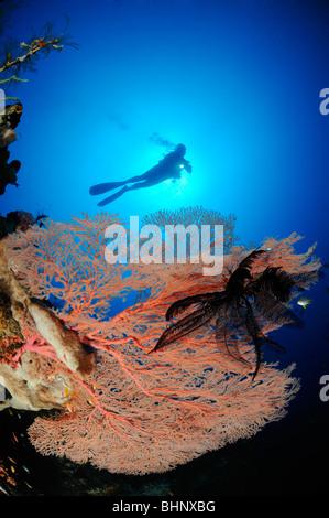 Annella mollis, Subergorgia hicksoni, scuba diver on colorful coral reef with giant fan gorgonian, Batu Karang, - Stock Photo