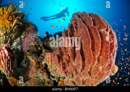 Xestospongia testudinaria, scuba diver at colorful coral reef with Barrel sponge and soft corals, Out of Eden, Alam - Stock Photo