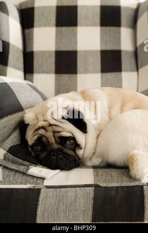 Pug dog curled up on checkered armchair - Stock Photo