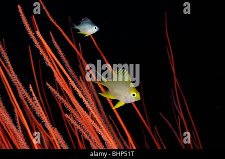 Golden Damsel in  red whip corals, Pemuteran, Deep Reef, Bali - Stock Photo