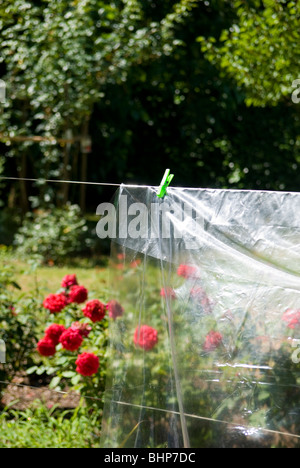a transparent plastic sheet hangs in the sun in a garden with a vibrant bed of roses in background - Stock Photo