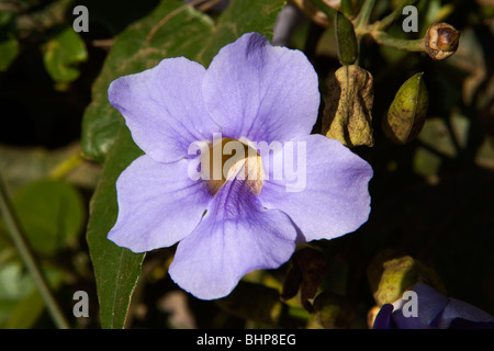 India, Kerala, Munnar, wild flowers blue Blue Trumpet Vine Thunbergia laurifolia, Laurel Clock Vine, Babbler's Vine, - Stock Photo