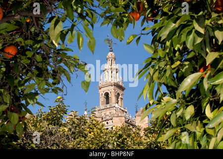 The Giralda tower seen through orange trees with oranges. In Seville (Sevilla) the capital of Andalusia (andalucía), - Stock Photo