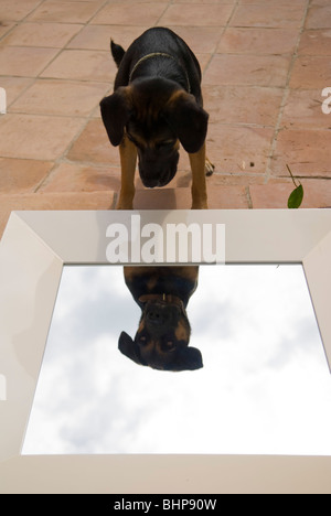 a large dog peers at its reflection in a mirror that is lying on its' back on a terrace - Stock Photo
