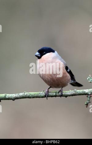 Bullfinch, Pyrrhula pyrrhula, single female on branch, Staffordshire, winter 2010 - Stock Photo