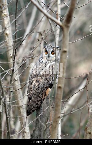 Long-eared owl, Asio otus, single bird in scrub, captive bird in Gloucestershire, winter 2010 - Stock Photo