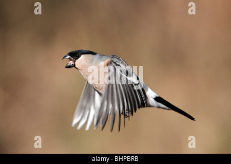 Bullfinch, Pyrrhula pyrrhula, single female in flight, Staffordshire, winter 2010 - Stock Photo