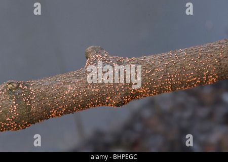 Coral spot fungus (Nectria cinnabarina) growing on an untreated rustic fence. - Stock Photo