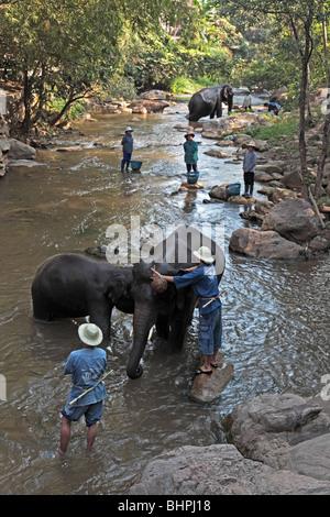 Elephants bathing in river at Maesa Elephant Camp near Chiang Mai, Thailand - Stock Photo