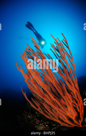 Ctenocella cercidia, Ellisella cercidia, Ellisella ceratophyta, scuba diver with red whip corals, Alam Batu, Housereef, - Stock Photo