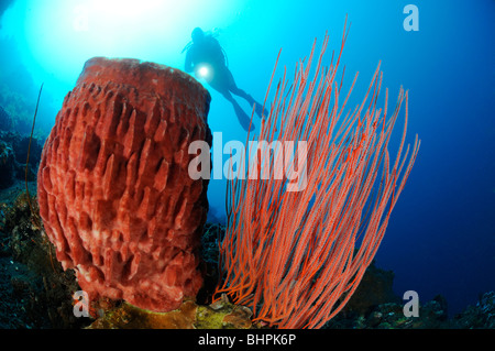 Ellisella cercidia, Ellisella ceratophyta, Xestospongia testudinaria, scuba diver with red whip corals and barrel - Stock Photo