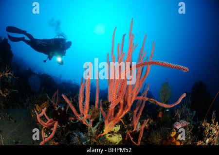 Ctenocella cercidia, Ellisella cercidia, Ellisella ceratophyta, scuba diver with red whip corals, Bali - Stock Photo