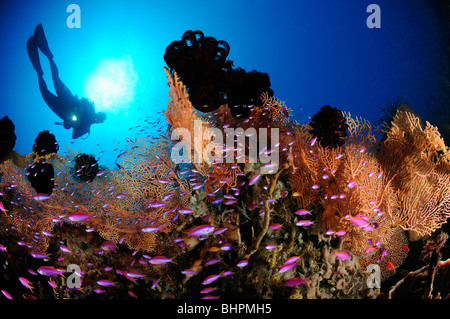 Pseudanthias tuka, scuba diver with colorful coral reef and Purple queen and soft corals, Alam Batu, Housereef, - Stock Photo