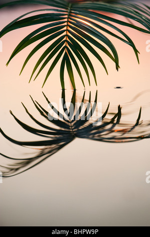 Palm leaf reflecting in a still pool at sunrise in india