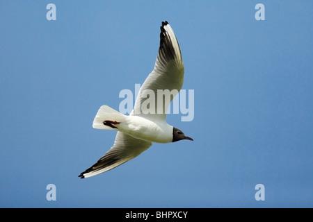 Black- headed Gull (Larus ridibundus), in flight, Texel, Holland - Stock Photo