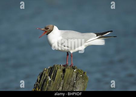 Black- headed Gull (Larus ridibundus), calling from post in sea, Texel, Holland - Stock Photo