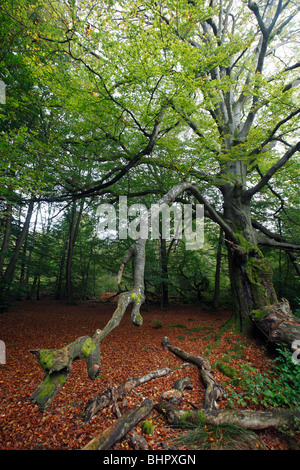 Ancient Forest in early autumn, Sababurg National Park, North Hessen, Germany - Stock Photo
