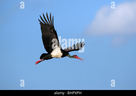 Black Stork (Ciconia nigra), in flight, Portugal - Stock Photo