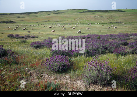 Herd of sheep, grazing in national park Sao Marcos great bustard reserve, Alentejo, Portugal - Stock Photo
