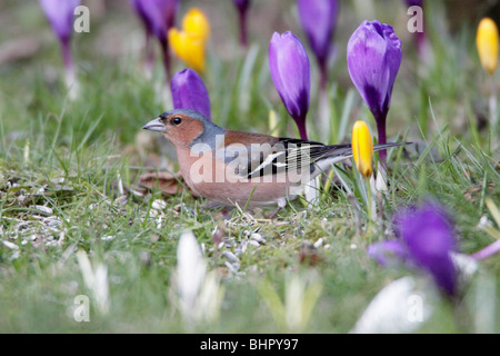 Chaffinch (Fringilla coelebs), feeding on garden lawn in springtime, Germany - Stock Photo
