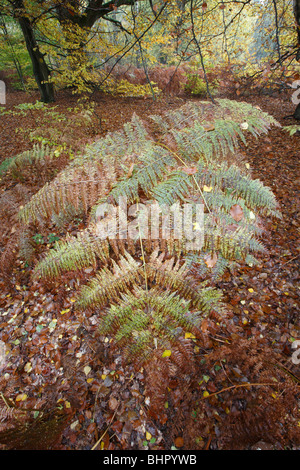 Bracken Frond (Pteridium sp), in autumn, covered in leaves, Germany - Stock Photo